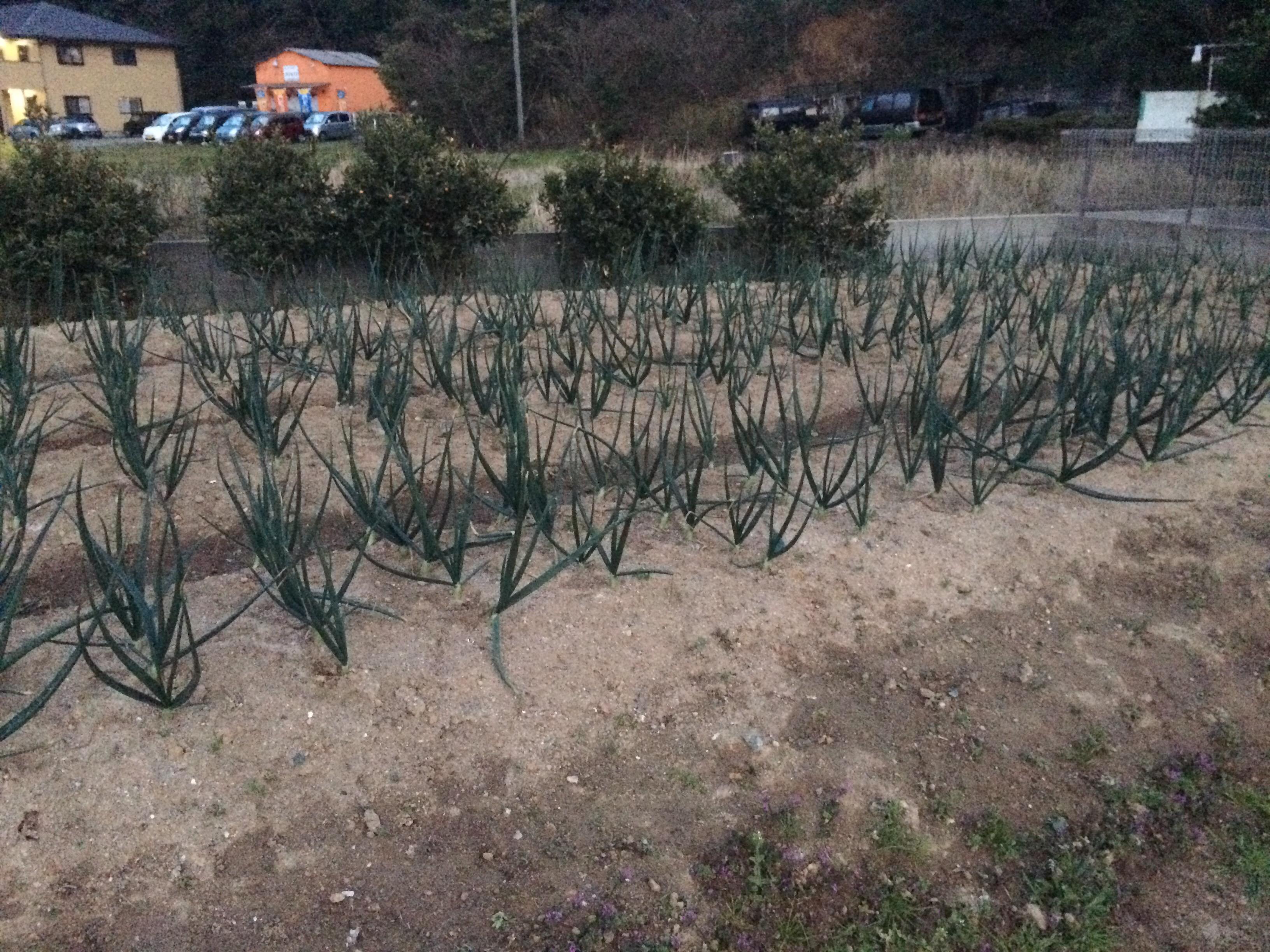 img 0359 - ぐうす畑に堆肥が