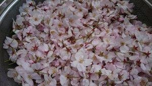 DSC 2272 1 300x169 - 桜が咲いたら……