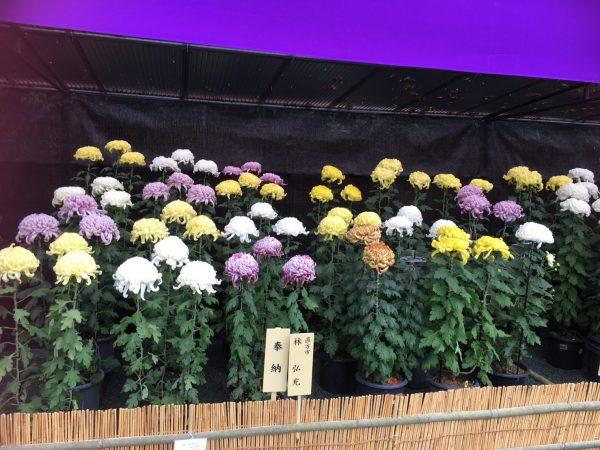 img 2190 - 宗像大社の菊花展