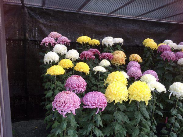 img 2230 - 菊花展へ