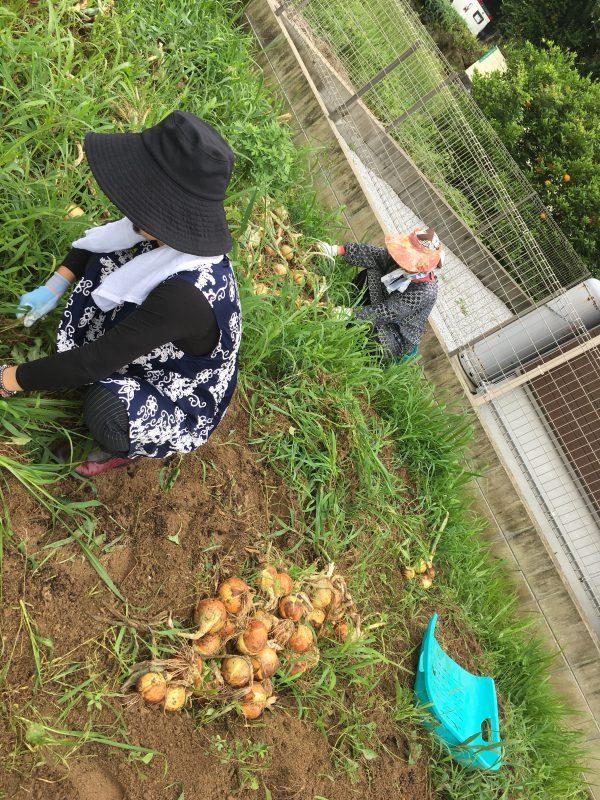 img 8772 - 玉ねぎ収穫