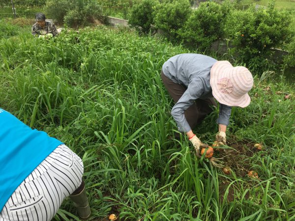 img 8773 - 玉ねぎ収穫