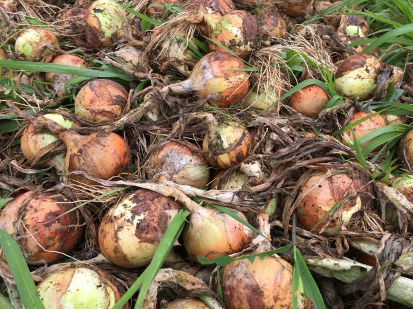 img 8774 - 玉ねぎ収穫